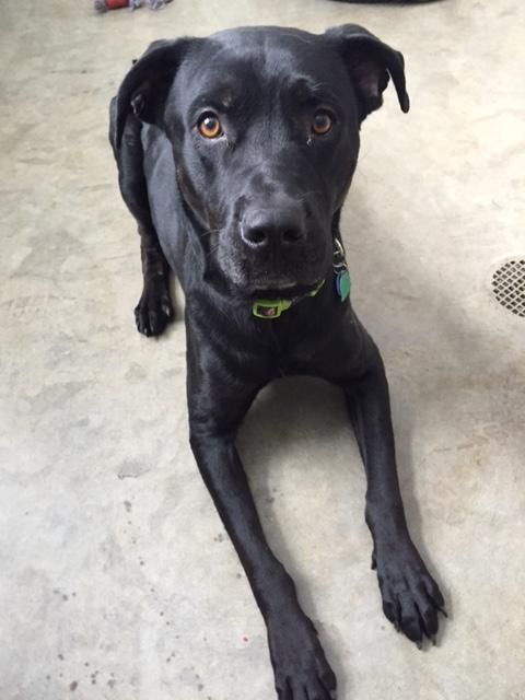 Adopt Bear Or Boss Fully Vetted Free And Back On Dog Adoption Black Labrador Retriever Dogs