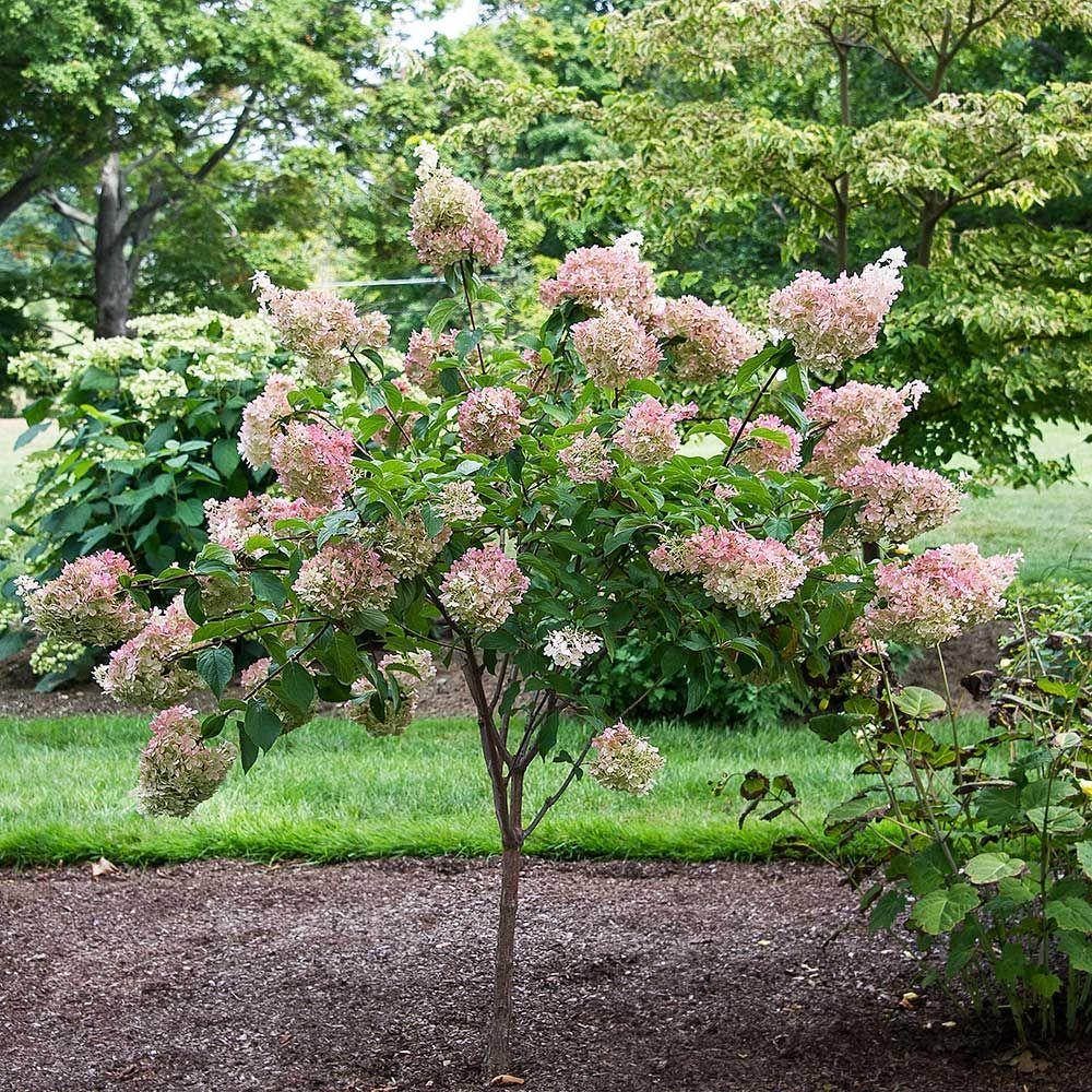 Hydrangea Paniculata Vanilla Strawberry Backyard Garden