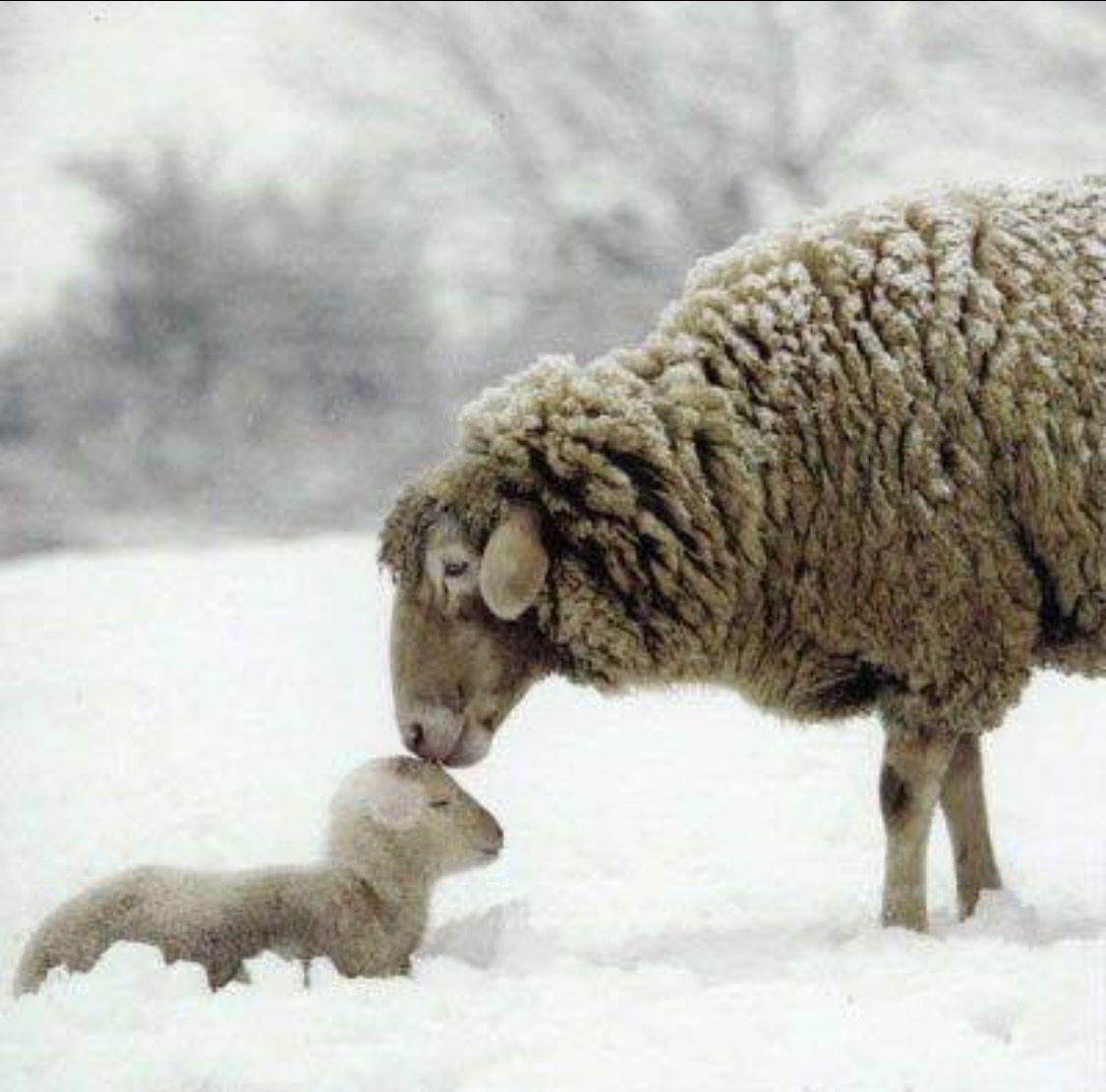 Pin By Debi Bender On Sheep Sheep Sweet Animals Animals Beautiful