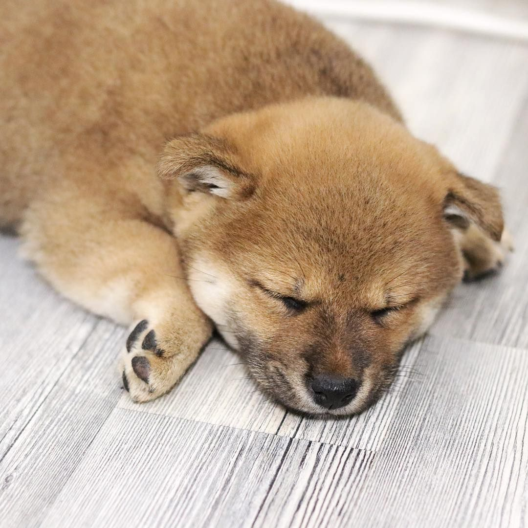 Goldy Moon Shiba Inu On Instagram Sleeping Baby Shiba Inu Dog Best Friend Shiba