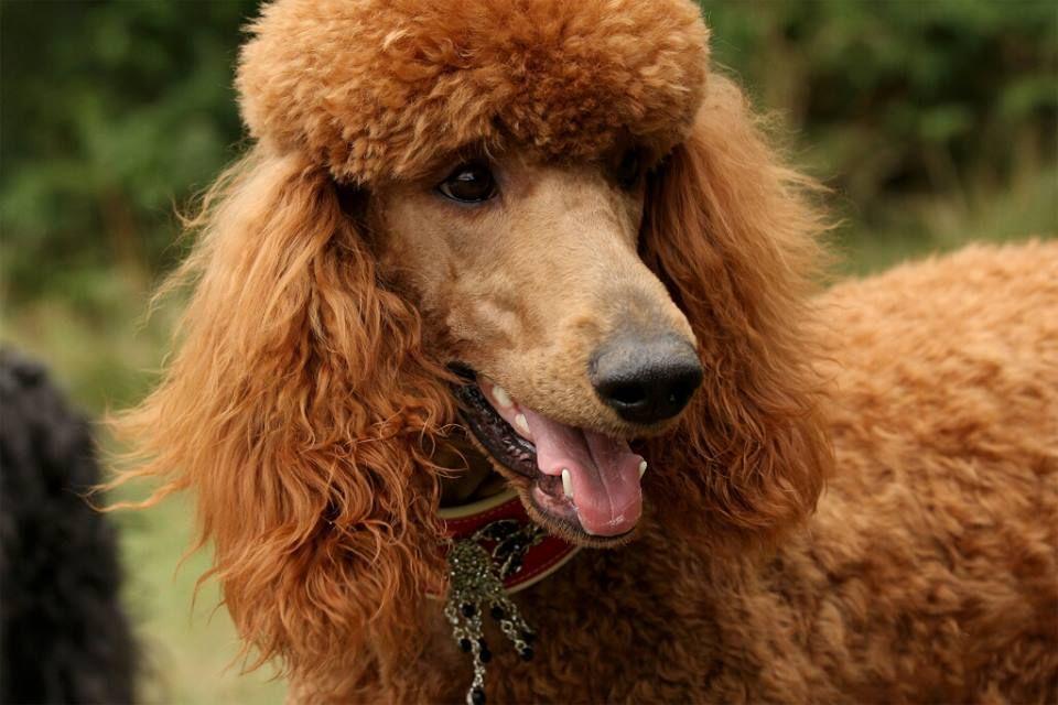 Layla Red Standard Poodle Poodle Poodle Dogs Dog Breeds