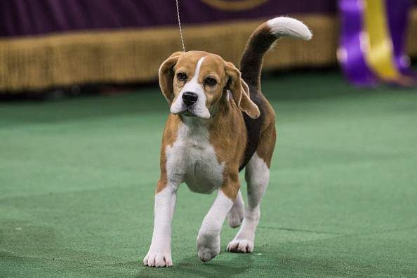 Miss P Wins Best In Show Westminster Dog Show Dog Show Cute