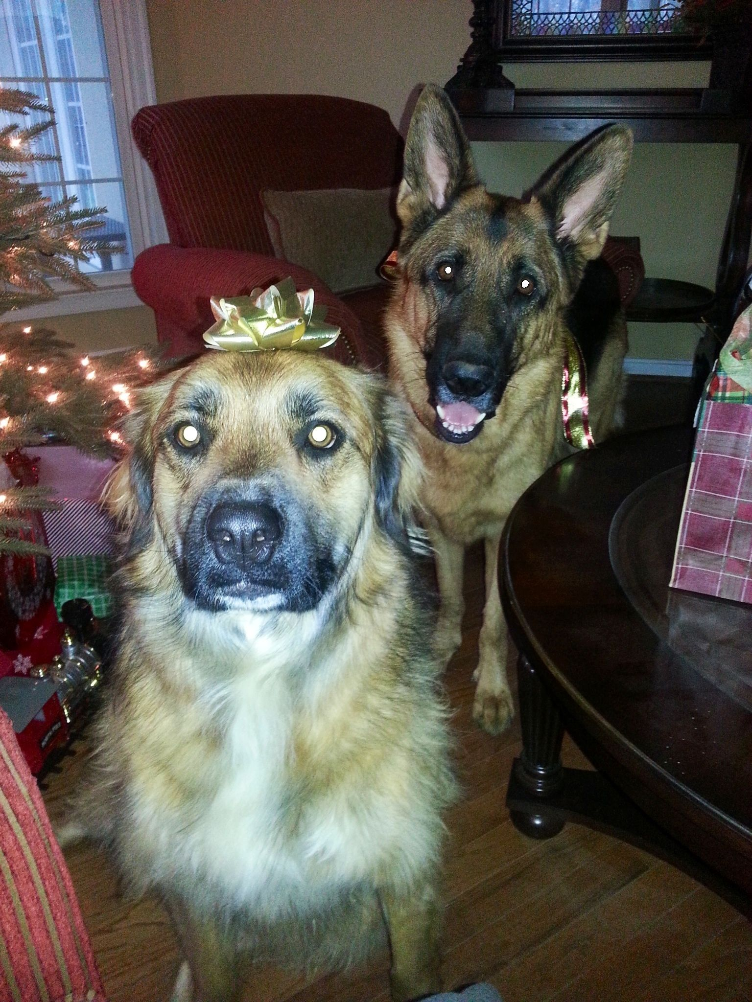 Happy Pawlidays My Gsd Cooper Rescue Girl Miss Riley Roo