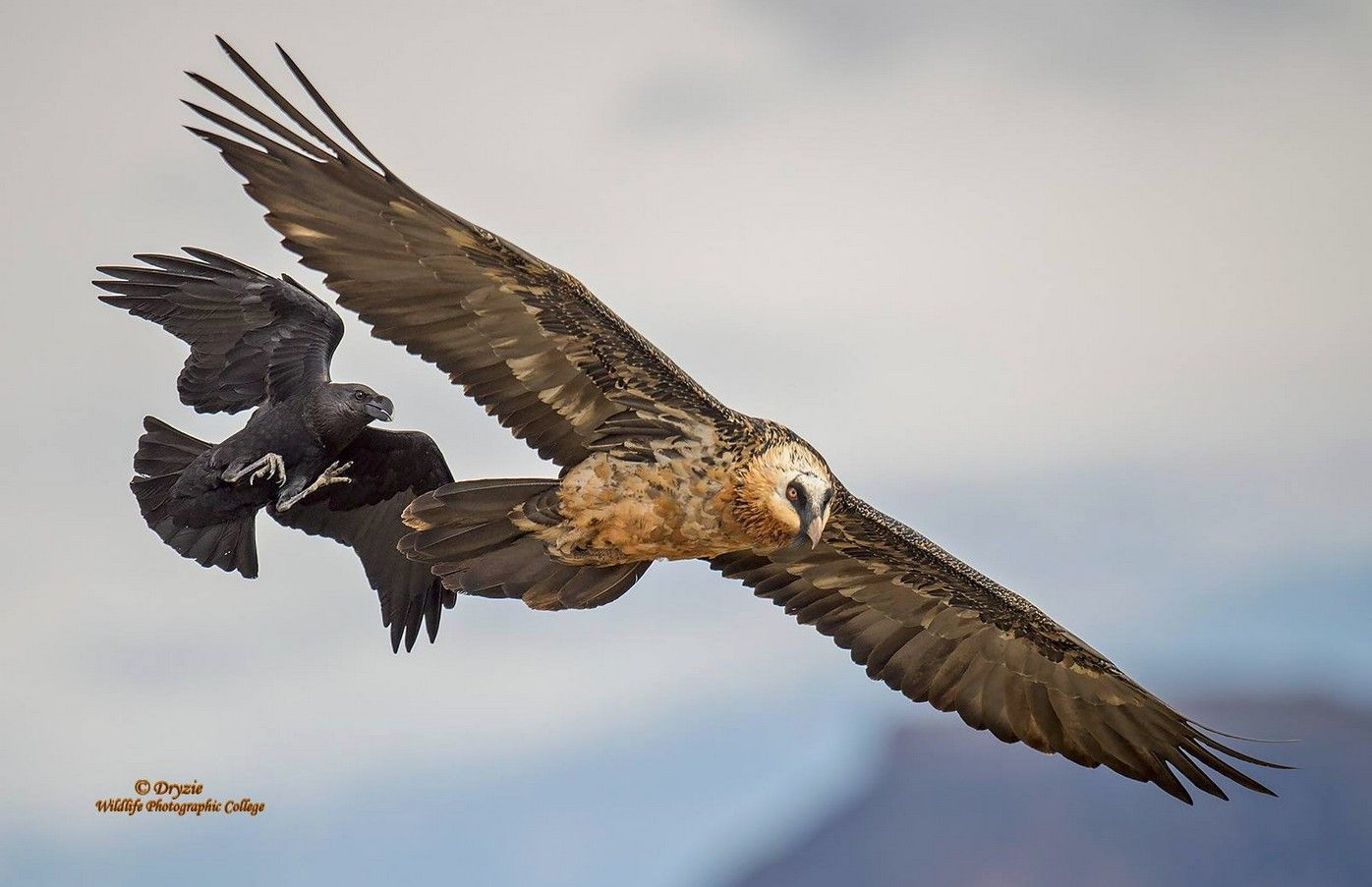 Watching the inter-action between the White Necked Ravens and the Bearded Vultures, is always something to watch for when visiting Giants Castle....In this series you can see how the Raven lands on the Beardies back and tries to pull his feathers out