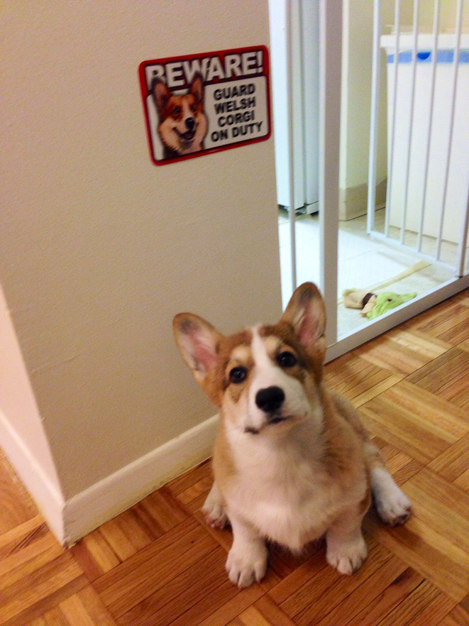 Reporting For Duty Corgi Dog Cute Animal Photos Dachshund Pictures