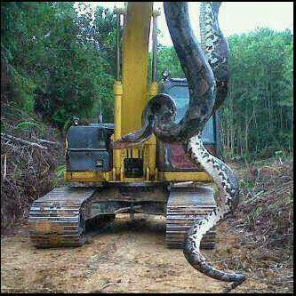 Foto ular terbesar di dunia yang pernah diabadikan kabar islami foto ular terbesar di dunia yang pernah diabadikan reheart Image collections