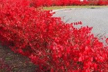 Love The Color In Fall Burning Bush Hedge Deer Resistant With