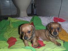 Smooth Standard Dachshund Pups Puppies For Sale Glanville South