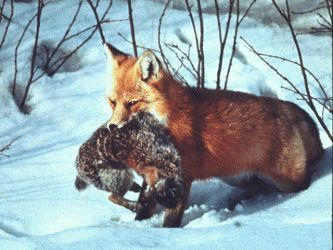 Wolf eating rabbit - photo#31