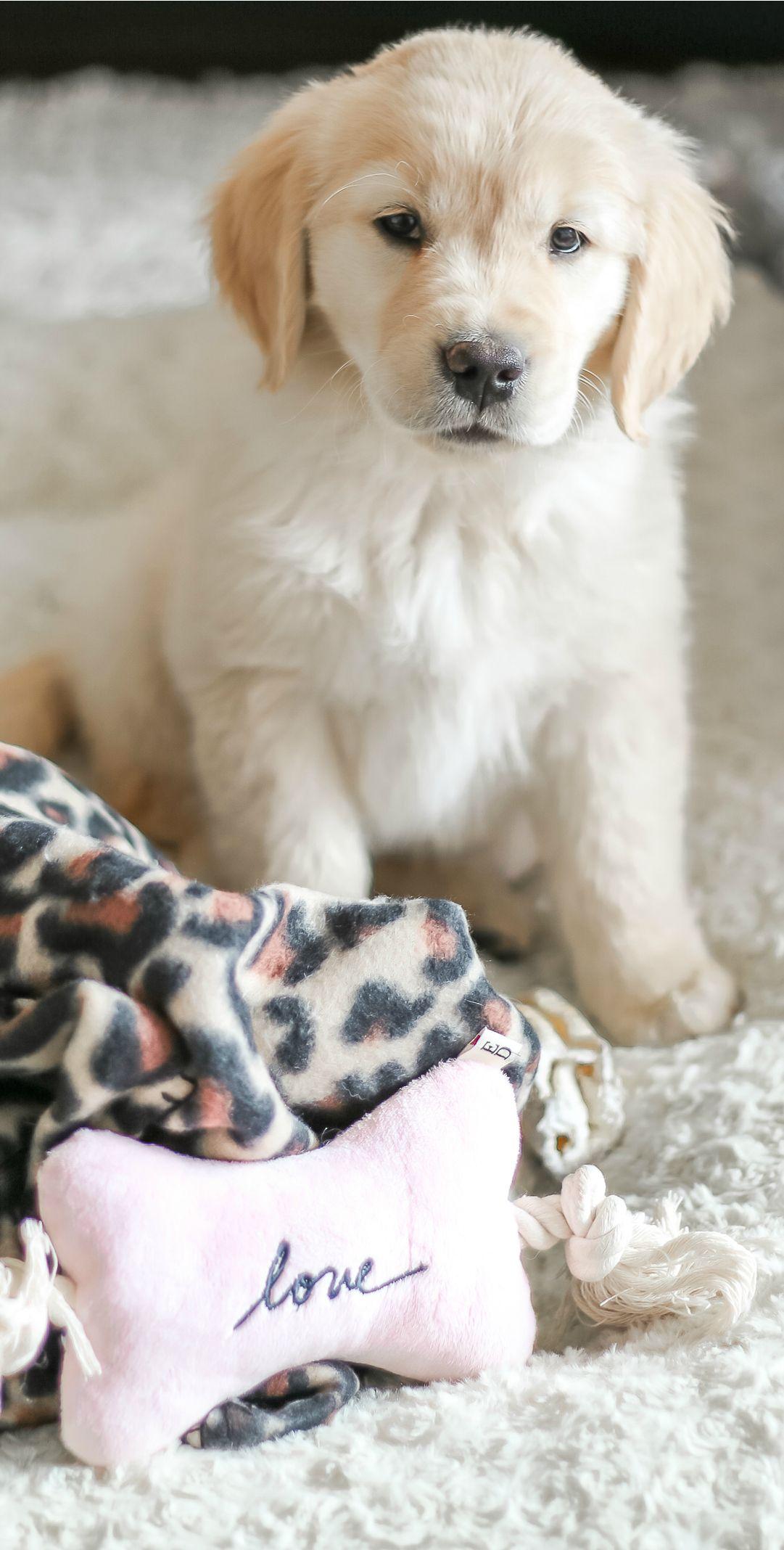 Meet Nala Our New Golden Retriever Puppy Diary Of A Debutante Golden Retriever Puppy Golden Retriever English Golden Retriever Puppy