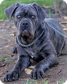 Neapolitan Mastiff Boxer Mix