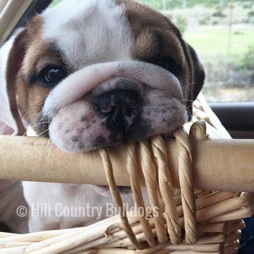 Bulldog Puppy For Sale In San Antonio Tx Adn 27845 On
