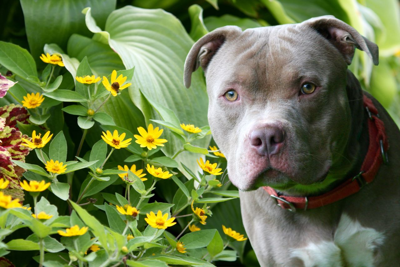 Adopt Bob on Pitbull terrier, Rescue dogs, Dogs
