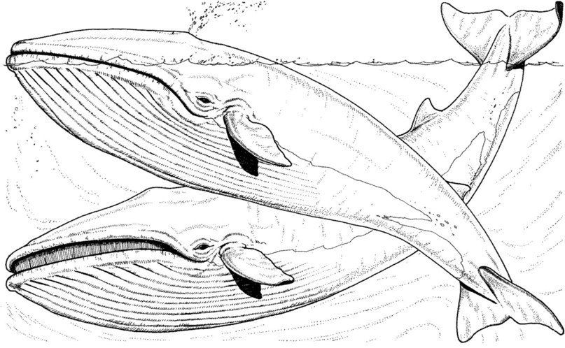 Fishing Boat Over Two Blue Whale Coloring Page Whale Coloring