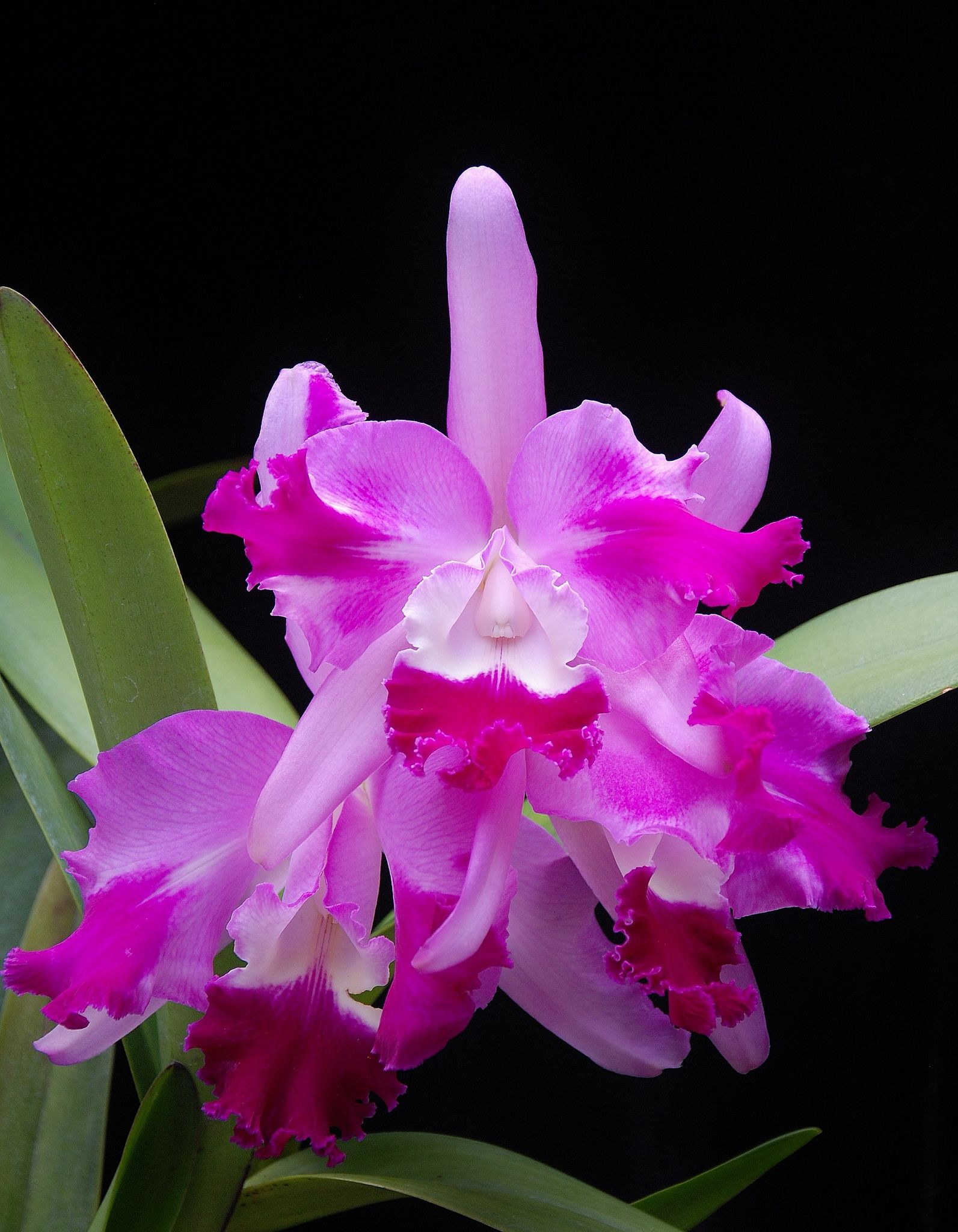 Cattleya Suavior Aquinii Fcc Rhs Cattleya Beautiful Orchids Orchids