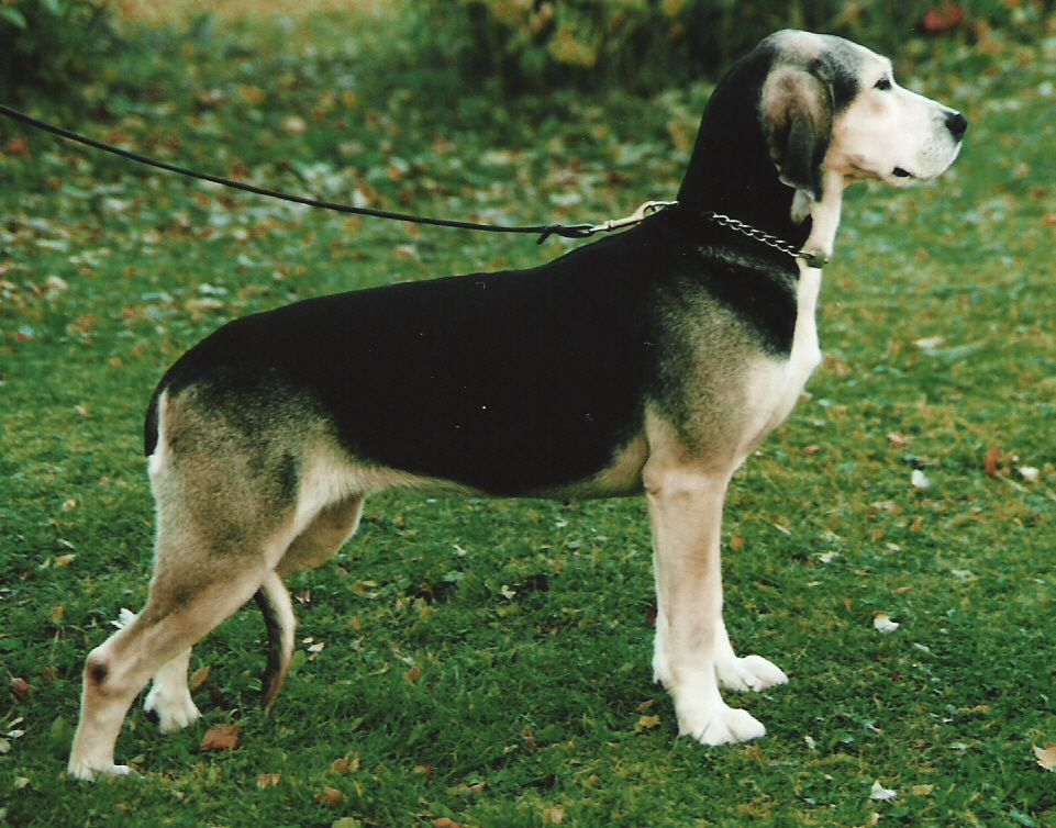 Dunker Norwegian Hound Dunker Pinterest Animal