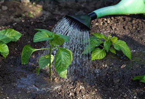 Как выращивать перец в открытом грунте? | Огород, Перец, Сад
