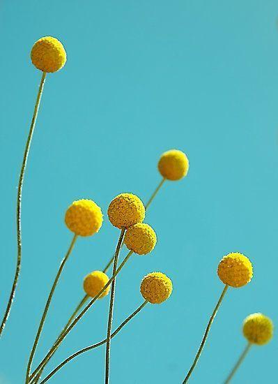 Golden Drumstick Billy Balls Craspedia Globosa 25 Seeds Australian Native Flowers Billy Buttons Australian Flowers