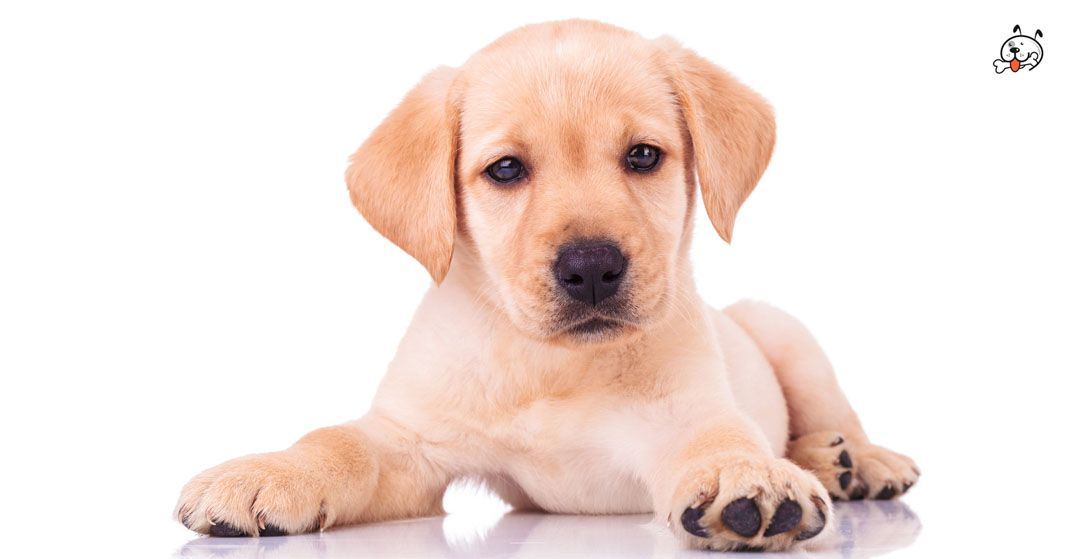Are you interested in #Golden_Retriever Puppies? Click here: http://puppies4all.com/golden-retriever-puppies-for-sale/