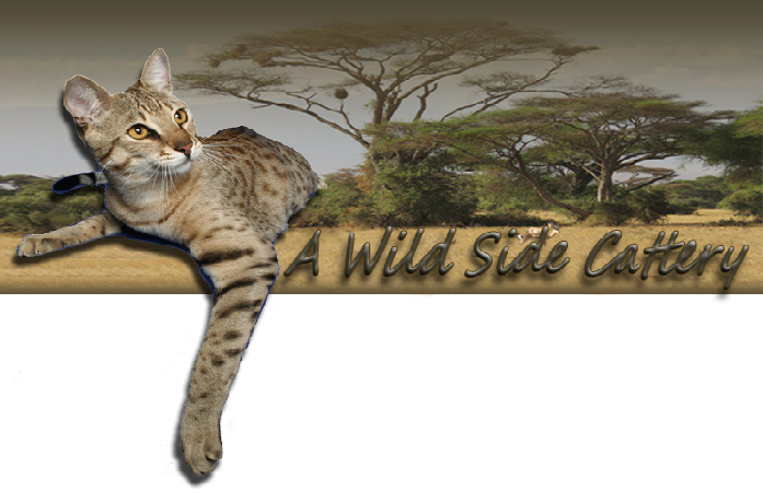 A Wild Side is a TICA registered cattery with domestic and