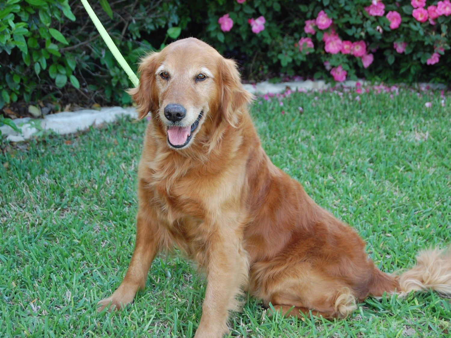 Maypearl 15 023 F 6 Years Golden Retriever Rescue Of North