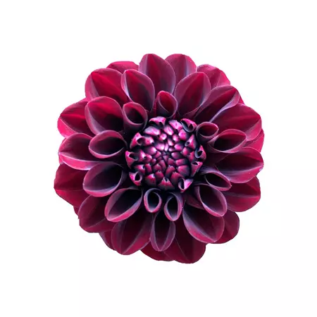 Dahlias Burgundy Choose 20 Or 40 Stems Sam S Club In 2020 Seasonal Flowers Bulk Wedding Flowers Bulk Flowers Online