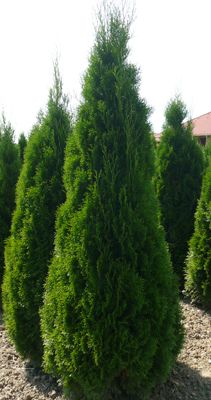 thuja smaragd plants you may like to plant in your garden pinterest thuja occidentalis. Black Bedroom Furniture Sets. Home Design Ideas