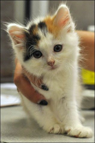 Calico Cat Want This Baby Too Too Sweet Baby Cats Cute Cats