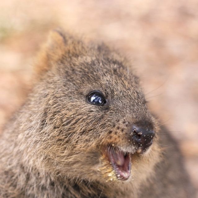 Quokka The Happiest Animal In The World Aaaaahhhh Pinterest - 15 photos that prove quokkas are the happiest animals in the world