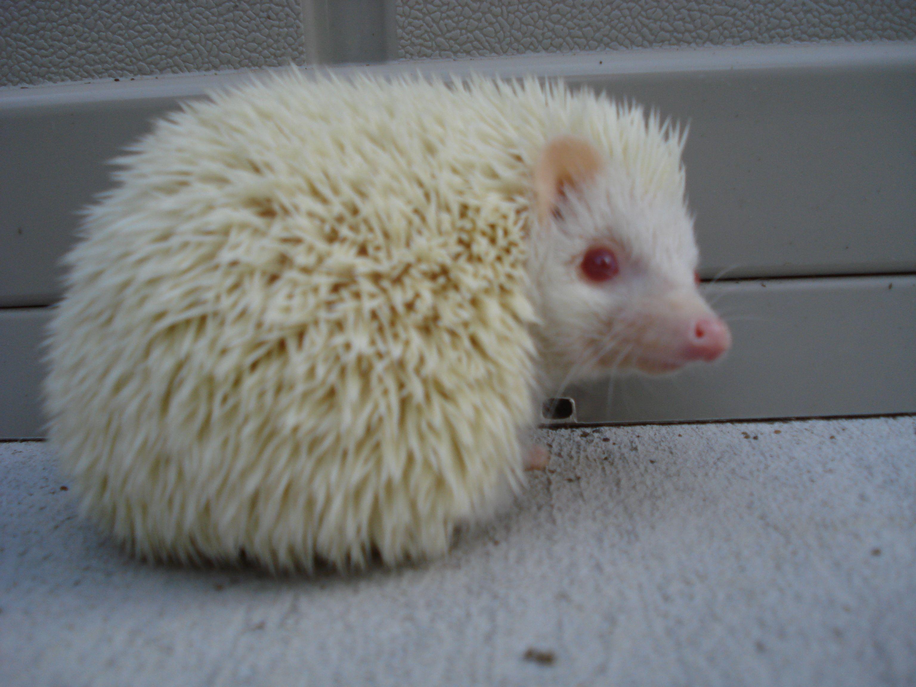 North African Hedgehog