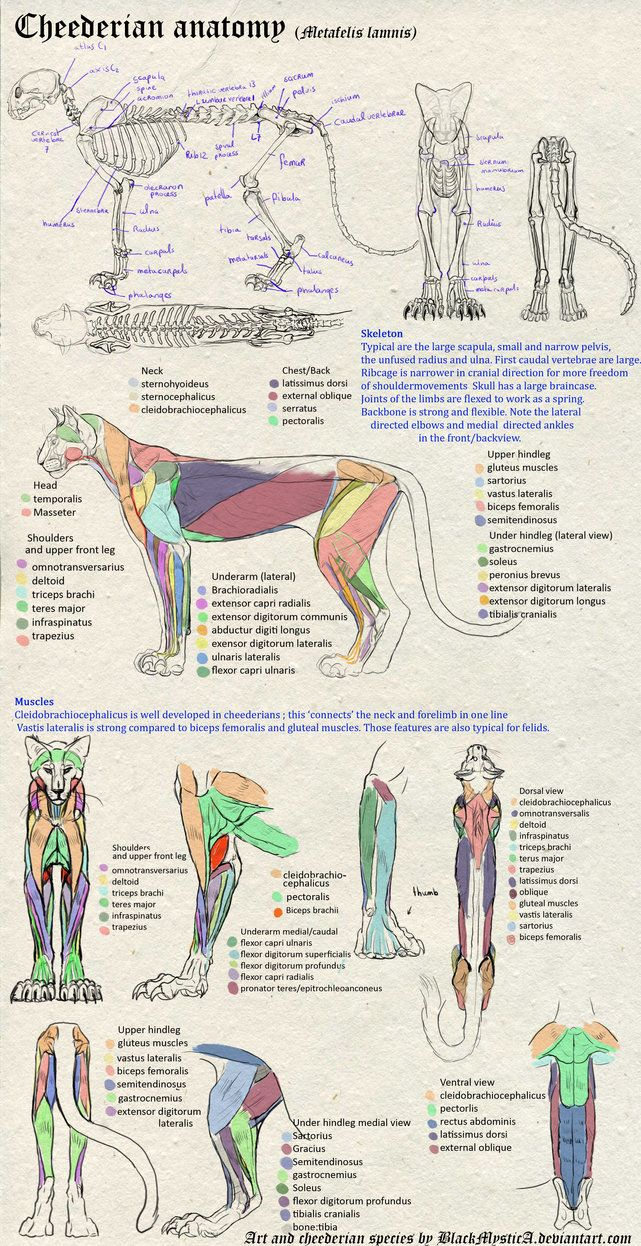 Anatomy chart of the cheederian, my original species (a large feline ...
