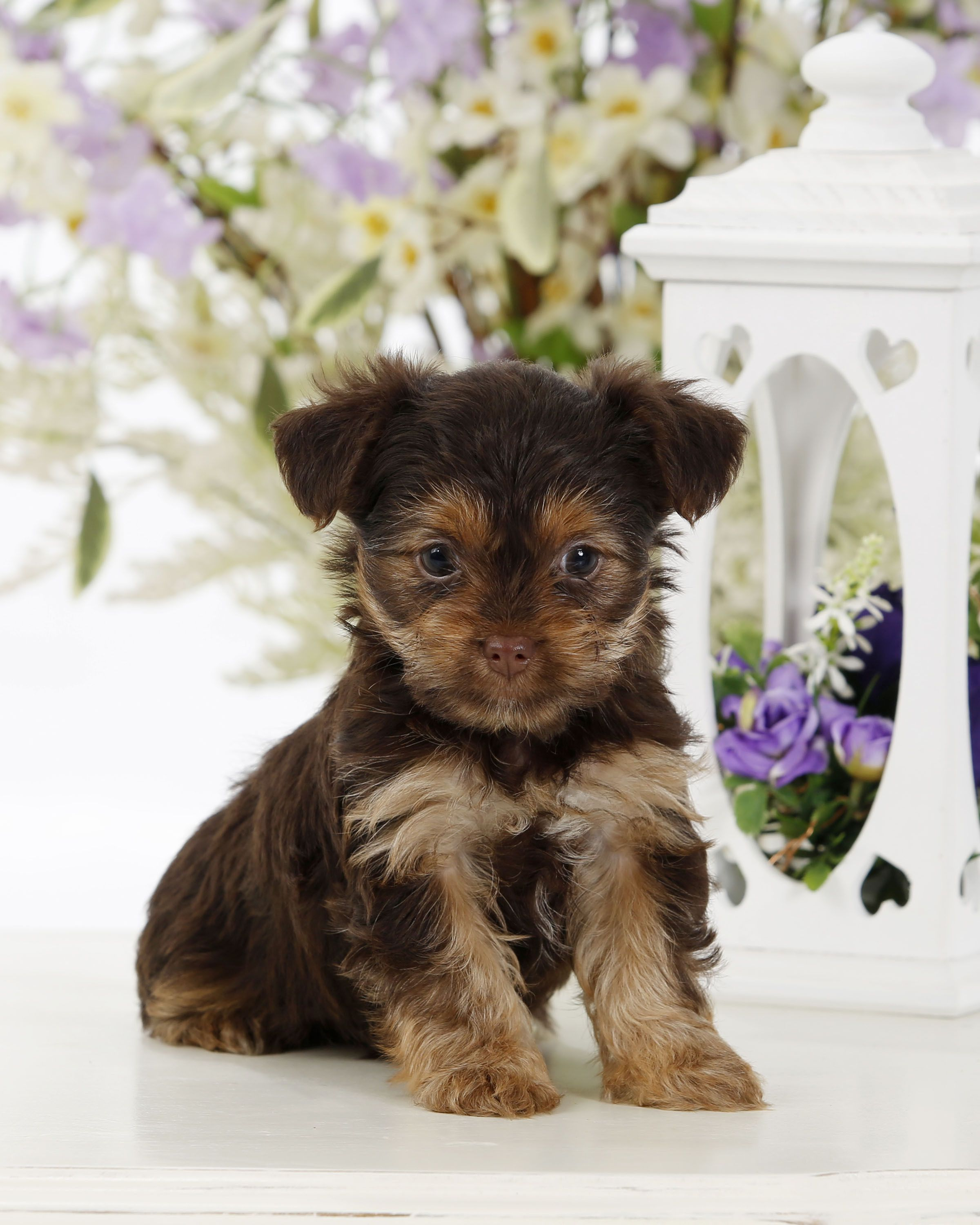 Pin by Buckeye Puppies on Yorkshire Terrier Mix Puppies