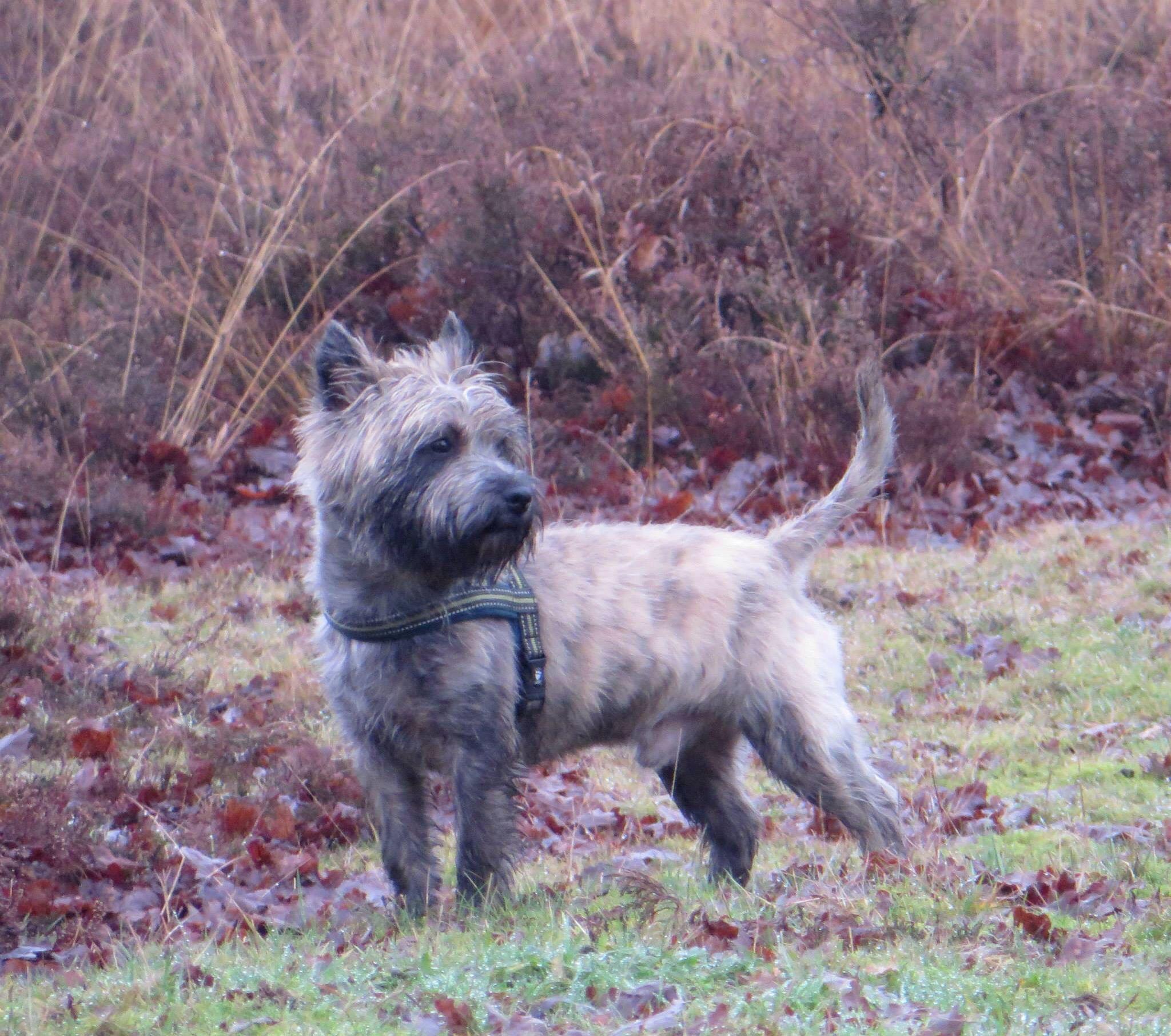 Cairn Buurse Twente Holland Cairn Terrier Little Dogs Cairn