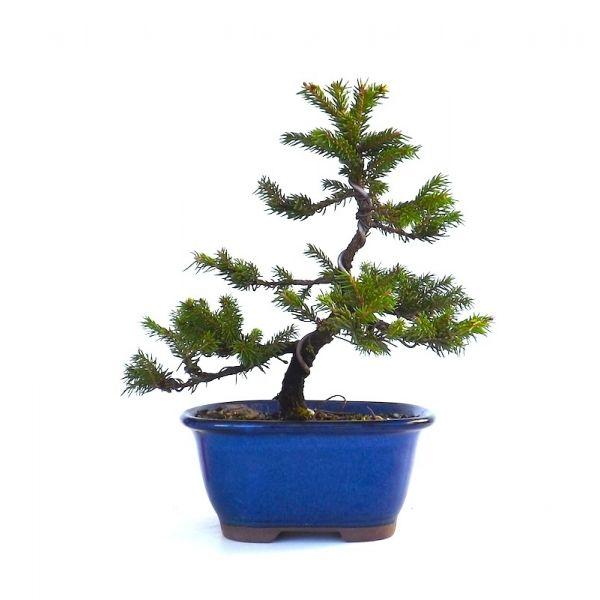 vente de bonsai picea jezoensis shohin 21 cm 140304 chez votre sp cialiste du bonsa en ligne. Black Bedroom Furniture Sets. Home Design Ideas