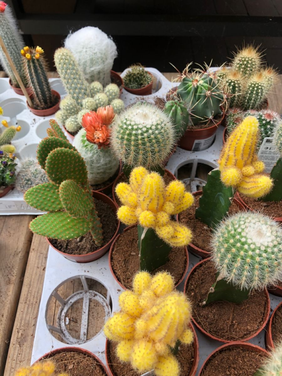 How Long Can A Cactus Live Without Water Succulents Network Succulents Cactus Cacti And Succulents