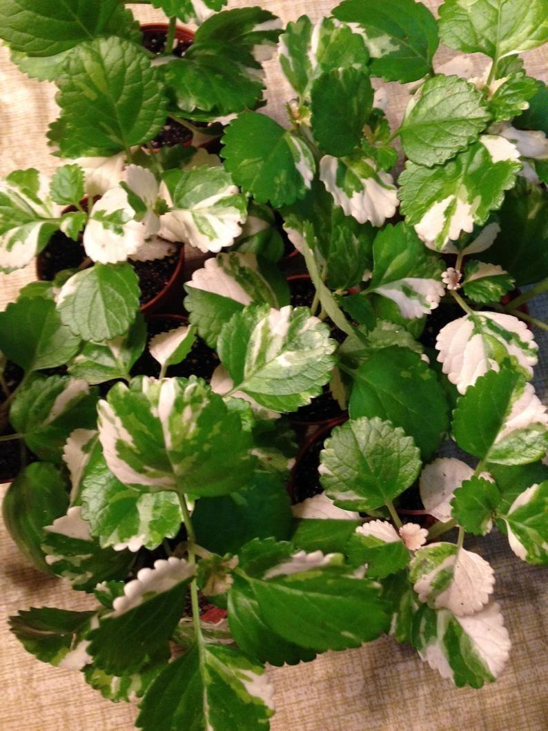 Old Fashion Swedish Ivy Plectranthus Australis Variegated Etsy Plants Ivy Plants Safe House Plants