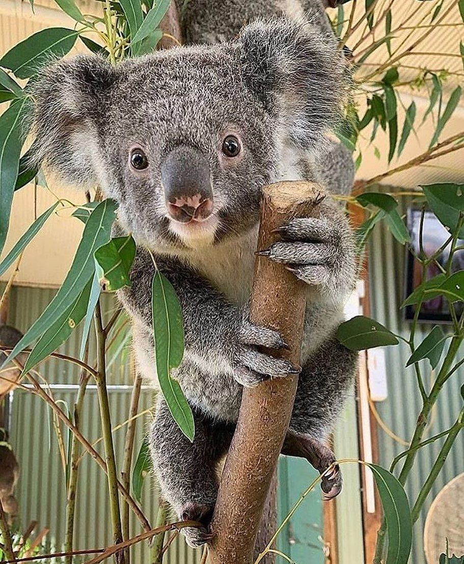 Koalas Of Australia On Instagram Don T We Just Love Koalas