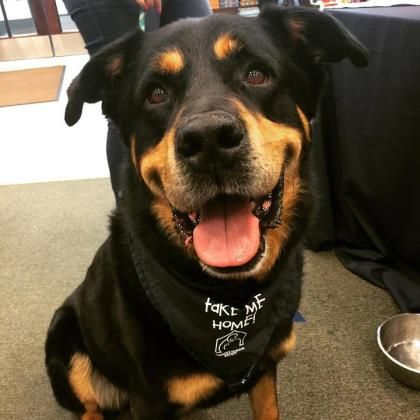 Meet Webster A 7 Years 5 Months Rottweiler Mix Available For