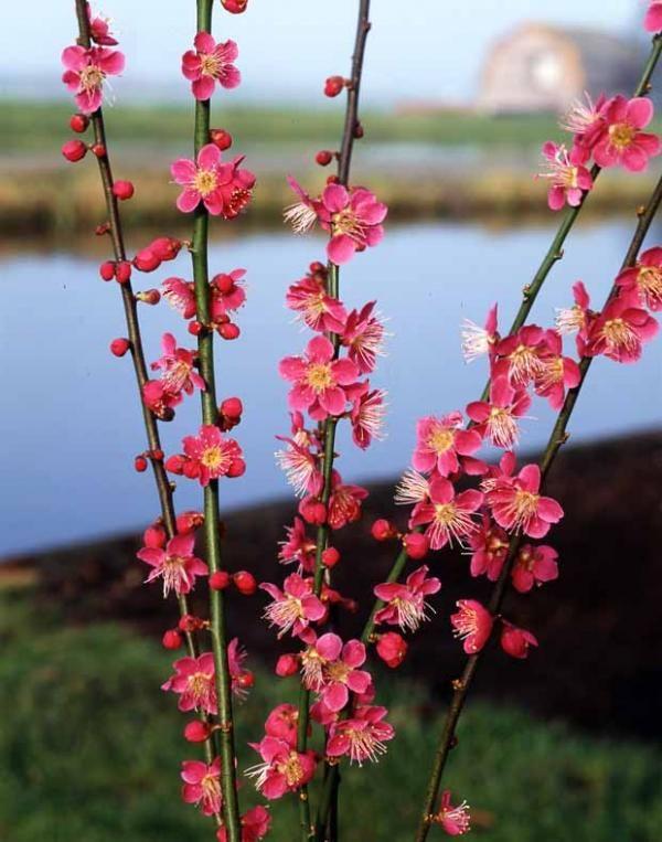 Abricotier du japon zen attitude jardin japonais for Arbuste jardin japonais