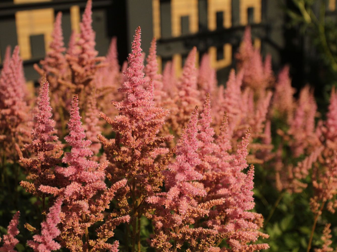 Plant Of The Week Visions In Pink Astilbe The High Line Blog Plants Astilbe Perennials