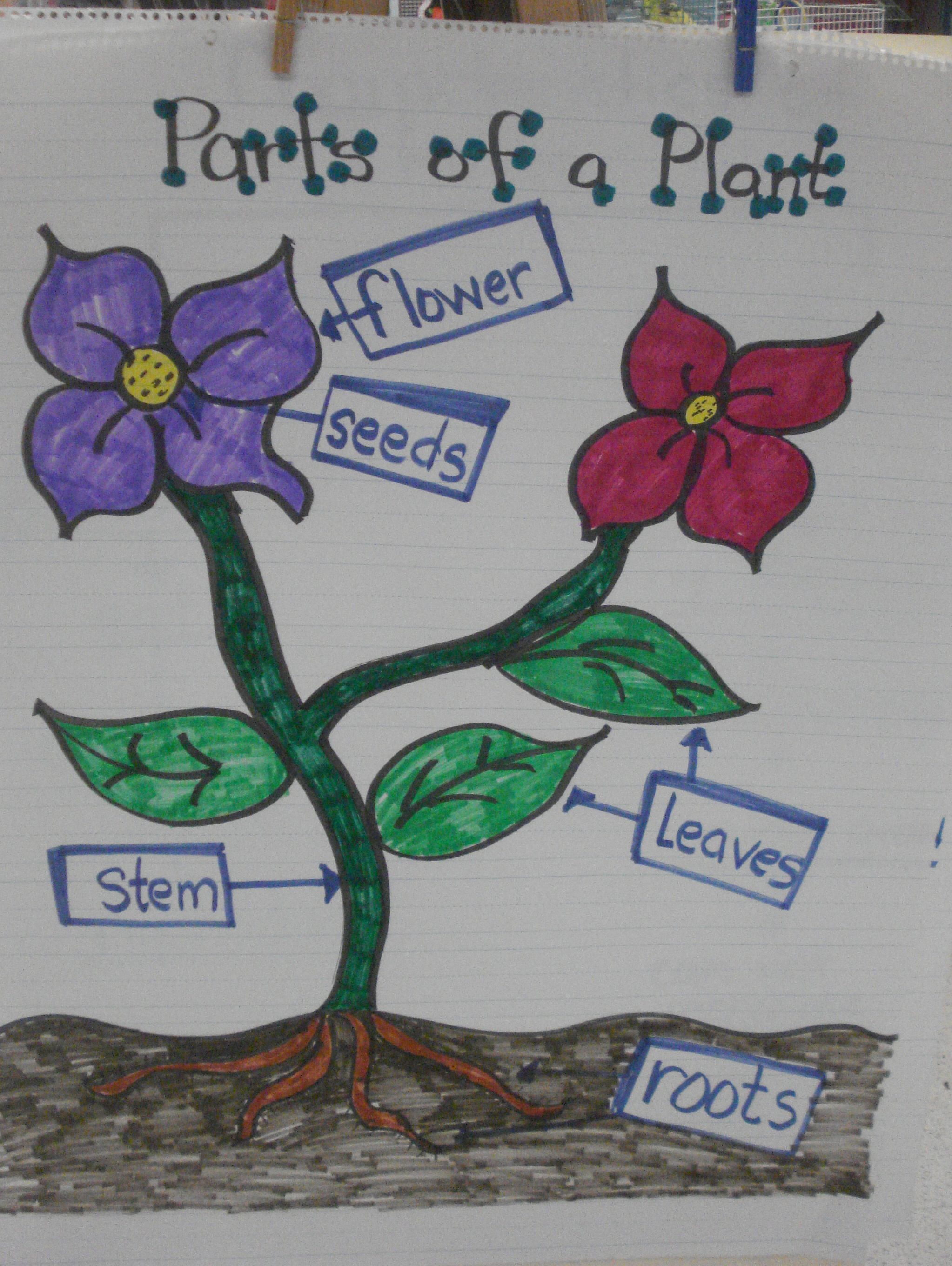 Plant Parts Anchor Chart Created By Thebilingualcafe