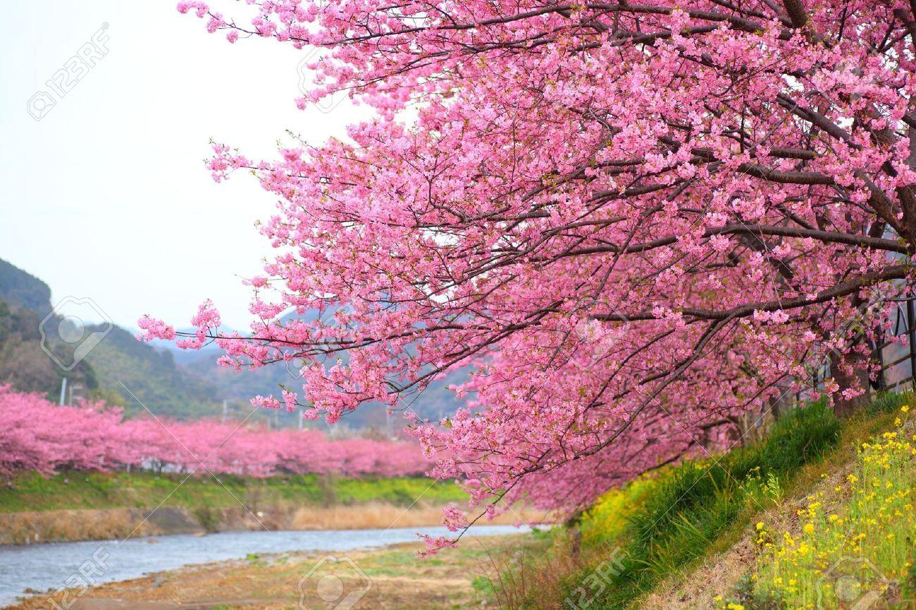 Pink cherry blossom kawazu cherry tree in shizuoka japan Japanese cherry blossom tree