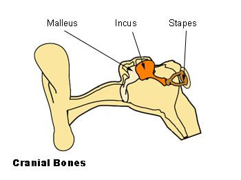 ossicles malleus, incus, stapes audiology bones, middle ear Diagram of the Ear Nerves ossicles malleus, incus, stapes