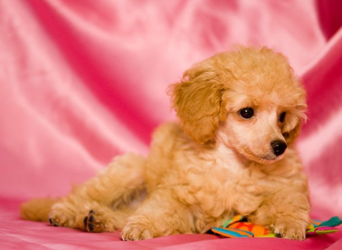 Puppies photos, Toy poodle