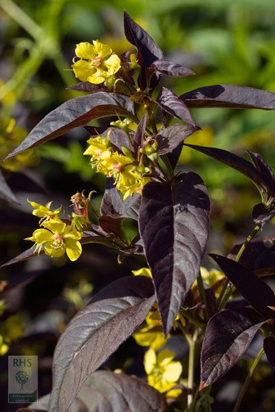 Buy loosestrife Lysimachia ciliata 'Firecracker': Delivery by Crocus