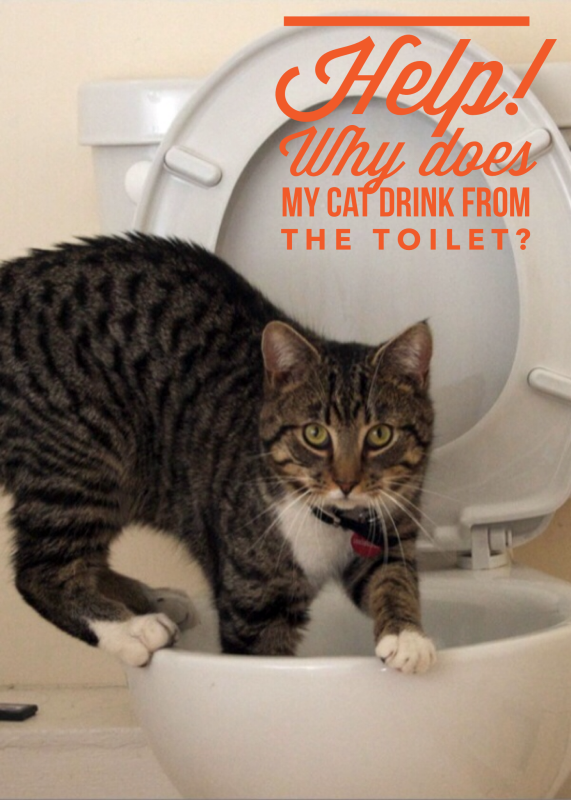 Help! Why Does my Cat Drink from the Toilet? Cat