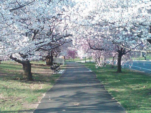 Branch Brook Park Cherry Blossoms Newark Nj Brook Park Newark Park