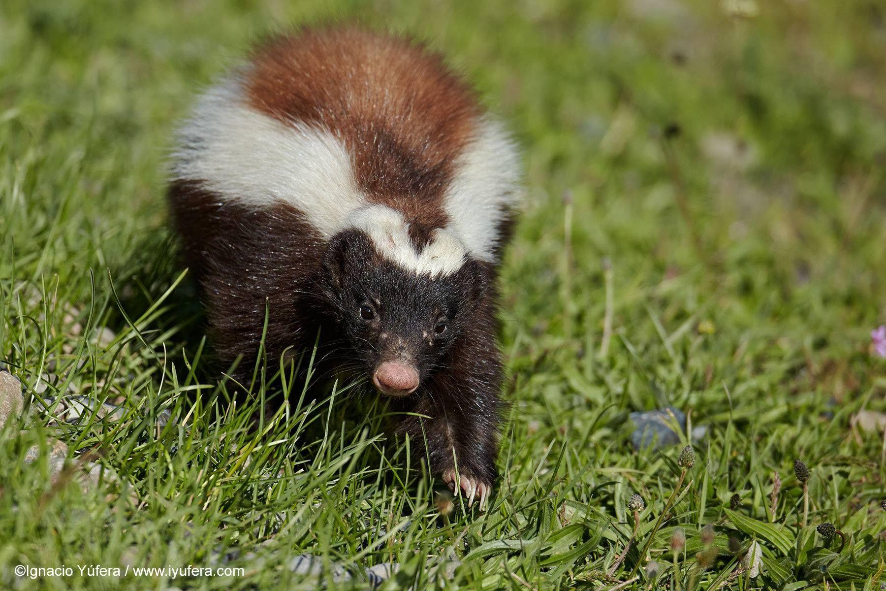 striped hog nosed skunk ferret and animal