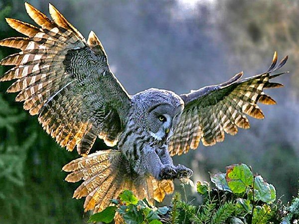 Owl Open Wings My Tattoo Pinterest Owl Great Grey Owl And Birds