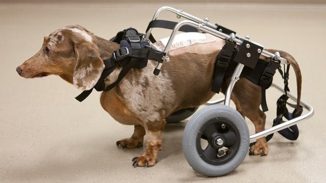 Helping Injured Dogs Walk Again Dog Walking Dog Help Dogs